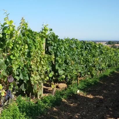 La Foye Montjeault - A la recherche du vignoble perdu
